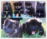 Elixir puppies at 7-8 weeks